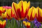 tulipas.amarelas.vermelhas