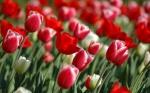 tulipas-red