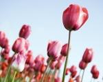 tulipas.rosa