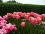 tulipasrosa