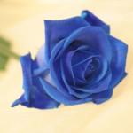 unbranded-valentine-single-blue-rose