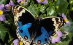 wallpaper.enorme.borboleta.1264765692izhI