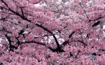 ws_Tree_in_Bloom_1680x1050